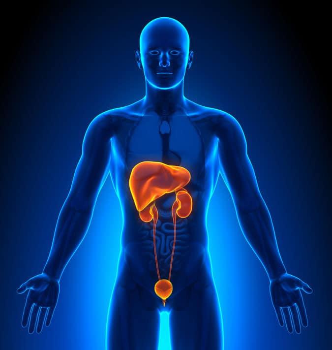 Harnorgane, Nieren und Blase